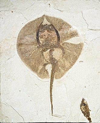 Skate (fish) - Early Eocene fossil stingray Heliobatis radians
