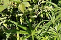 Helleborus-foetidus.jpg