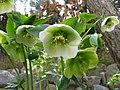 Helleborus orientalis2.jpg