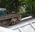 Hello Foxy - geograph.org.uk - 1371894.jpg