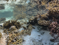 Hemiscyllium ocellatum (Epaulette shark) at Heron Island, Queensland.png