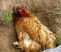 Hen dustbathing.jpg