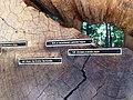 Henry Cowell Redwoods State Park tree rings.jpg