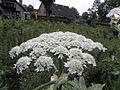 Heracleum mantegazzianum R.H. 11.jpg