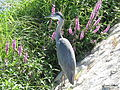 Heron Montrichard 10aug15 6710.jpg