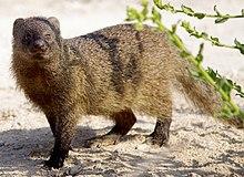 Herpestes ichneumon Египетский мангуст, или фараонова крыса, или ихневмо́н.jpg