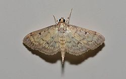 Herpetogramma fluctuosalis – Greater Sweet Potato Webworm Moth (14748266004).jpg