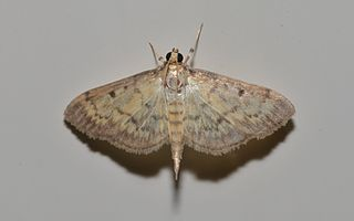 <i>Herpetogramma</i> genus of insects