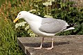 Herring Gull (7551174192).jpg