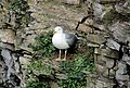 Herring Gull on a Cliff at the Berry Head Quarry.jpg