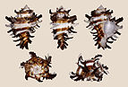 Hexaplex cichoreum 01.JPG