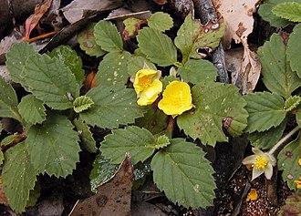 Hibbertia - Hibbertia grossulariifolia, Margaret River region, WA