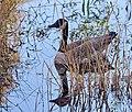 Hidden Goose (236187581).jpeg