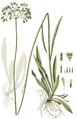 Hieracium cymosum, Flora Danica 2730.png
