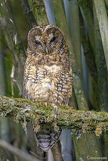 Himalayan owl species of bird