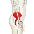 Hip bone lateral2.png