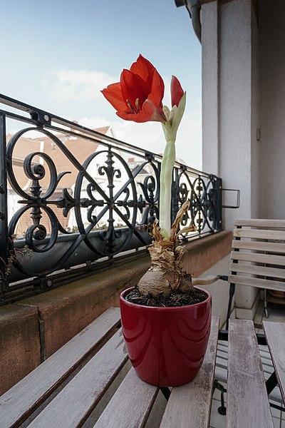 File:Hippeastrum (Zimmerpflanze).jpg