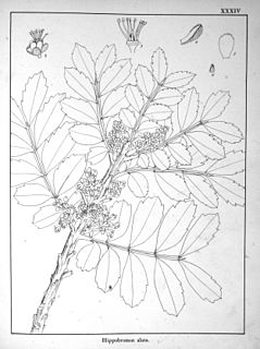 <i>The Forests and Forest Flora of The Colony of the Cape of Good Hope</i>