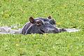 Hippopotamus Mikumi.jpg