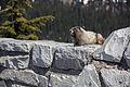 Hoary Marmot (14599160015).jpg