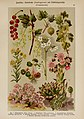 Hoffmann-Dennert botanischer Bilderatlas (Taf. 47) (6425005559).jpg