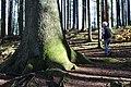 Hohe Fichte, Riesenfichte - panoramio.jpg