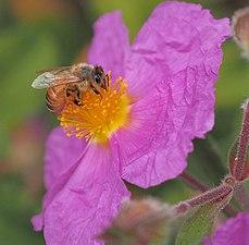 Honey bee on rock rose