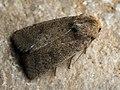 Hoplodrina sp. (41403911471).jpg