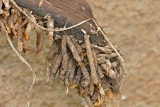 Ceratophaga vastella - Larval towers on old kudu horn