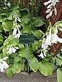 Hosta plantaginea au jardin des plantes de Paris.jpg