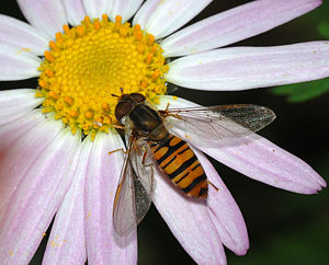 Hoverfly -  Episyrphus balteatus on flower