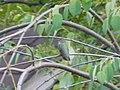 Hummingbird, Canada Ontario1.jpg
