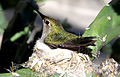 Hummingbird Adult in Nest in Cactus in Mesa, Arizona.jpg
