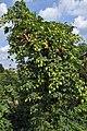 Humulus lupulus female plant (01).jpg