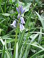 Hyacinthoides hispanica opening.jpg