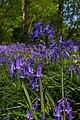 Hyacinthoides non-scripta - geograph.org.uk - 422951.jpg