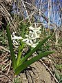 Hyacinthus orientalis sl3.jpg