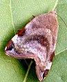 Hyblaea moth.jpg