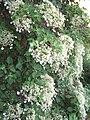 Hydrangea petiolaris00.jpg