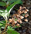 Hydrangea quercifolia 03.jpg