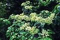 Hydrangea robusta in Western Arunachal AJTJ.jpg