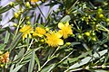 Hypericum kalmianum Gemo 2zz.jpg