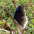 Hypolimnas bolina - Great Eggfly at Thillankeri 17.JPG