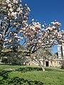 IMG magnolie giapoonesi.jpg