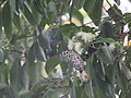 Idea malabarica - Malabar Tree-Nymph nectaring on Syzygium hemisphericum at Makutta (2).jpg