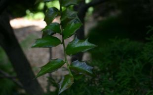 Ilex-pernyi-leaves.JPG