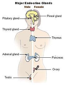 Illu endocrine system.jpg