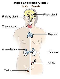 glande endocrine exemple