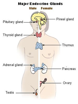 Position of the Thyroid in Males and Females