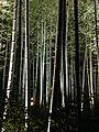 Illuminated Sagano bamboo forest 15.jpg